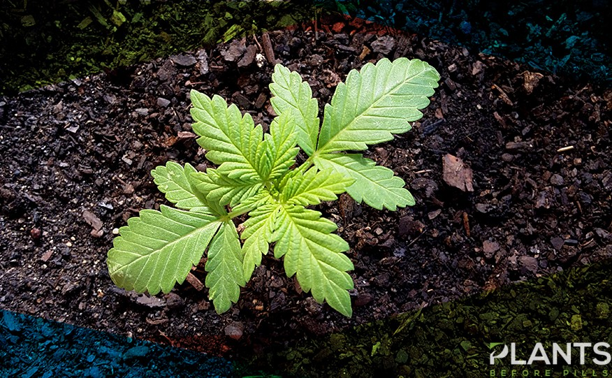 Planting Cannabis