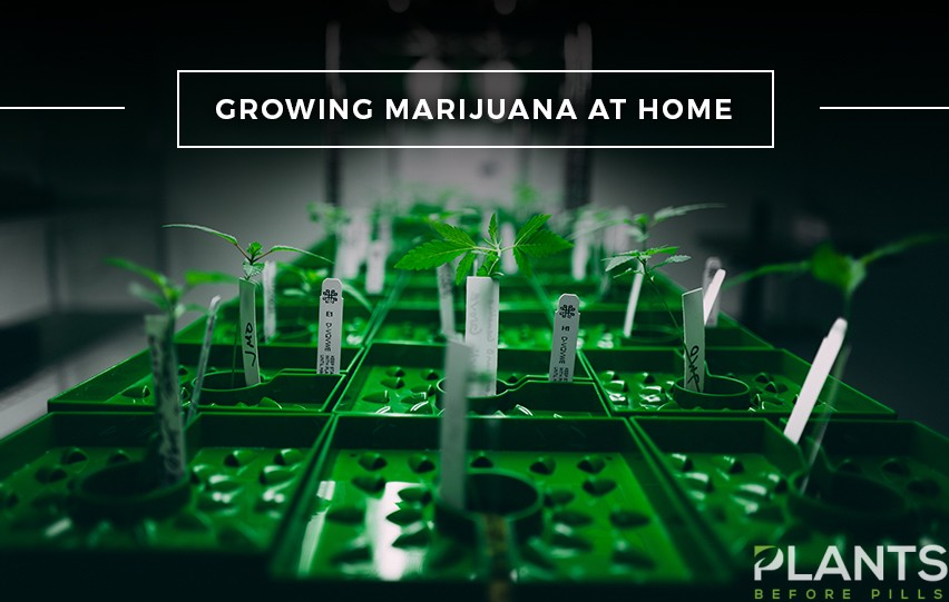 Guide to Growing Marijuana at Home