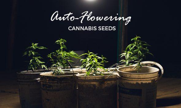Cannabis Seeds Benefits