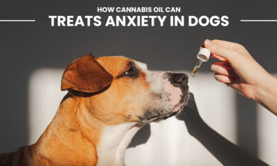 Cannabis Oil Can Treat Anxiety in Dogs