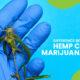 Difference Hemp CBD & Marijuana CBD