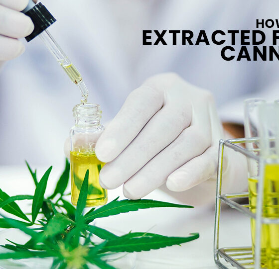 CBD Is Extracted From Cannabis